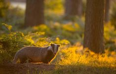 4,496 отметок «Нравится», 86 комментариев — Andrew Parkinson (@andyparkinsonphoto) в Instagram: «Badger in beautiful back-light – In all the years that I have worked with these beguiling and…»