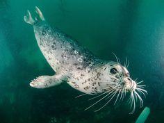 Antibiotic-Resistant Bacteria Are Turning Up in Puget Sound Marine Life Baby Animals, Cute Animals, Cute Seals, Harbor Seal, Water Life, Life Aquatic, Sea And Ocean, Marine Life, Sea Creatures