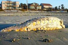 Sea Monster Washes Ashore in SC