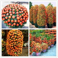 20pcs/bag orange seeds climbing orange tree seed bonsai Organic fruit seeds Like a Christmas tree pot for home garden plant