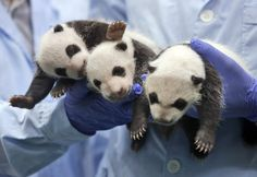 One-month-old triplet panda cubs receive a body check at the Chimelong Safari Park in Guangzhou in south China's Guangdong province Thursday, Aug. 28, 2014. China announced the birth of extremely rare panda triplets in a further success for the country's artificial breeding program. The three cubs were born July 29 in the southern city of Guangzhou. (AP Photo/Kin Cheung)