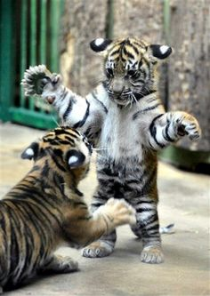 Tiger Babies.Thats so cute.Please check out my website thanks. www.photopix.co.nz