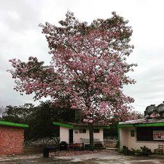 hay un maculix en una de las escuelas a las que voy por la mañana a trabajar #tree #treelover #quebeio