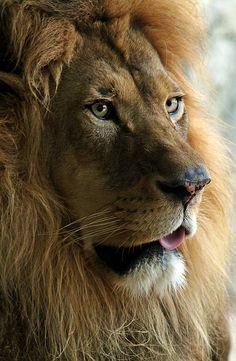 Lion by Alaina Abplanalp**