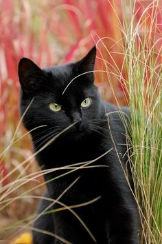 Gorgeous black cat!