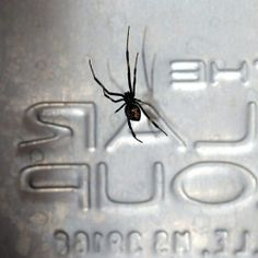 Large Black Widow Female In Rural Mail Box.