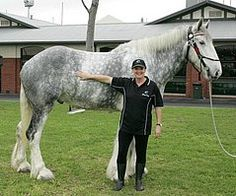 Shire Horses are recognised as the tallest horse breed in the world and Luscombe Nodram (Noddy) is supporting that claim, standing 20.2 hands.