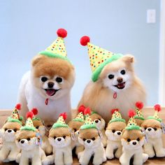 This is boo the dog in a teddy bear haircut (left) and boo the dog as a normal Pomeranian (right) and his stuffed animals! Boo The Cutest Dog, World Cutest Dog, Funny Dog Videos, Funny Dogs, Cute Puppies, Cute Dogs, Sweet Dogs, Boo And Buddy, Funny Animals