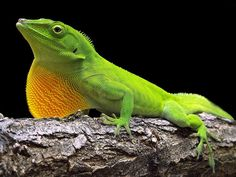 computer wallpaper for green anole, 360 kB - Gregson Williams