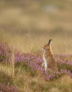 Mountain hare by Mike Mckenzie8 on Flickr.