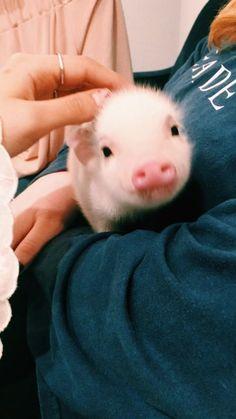 VSCO - charlottefox Baby Pigs, Beautiful Creatures, Cute Creatures, Funny Animals, Cute Baby Animals, Animals And Pets, Piglets, Cute Dogs, Cute Pictures