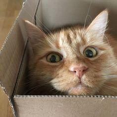 Cat in a box #cat #box #catsofinstagram #catinabox #redcat #funcat