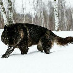 Black Wolf On The                    Hunt!