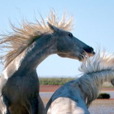 Horses of the Carmargue