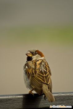 House sparrows are everywhere.
