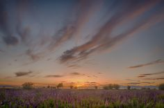 Sunset upon a field of Lupines | Flickr - Photo Sharing!