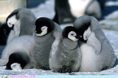 cute animals - Baby Penguins
