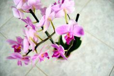 Phalaenopsis #orchid