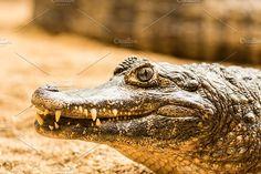 Caiman head Photos Danger caiman head portrait. by Goods & Foods