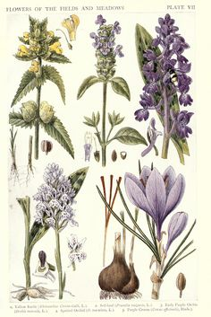 Wildflowers of the fields and meadows.  From a collection of British Illustrations at vintageprintable.com/wordpress/