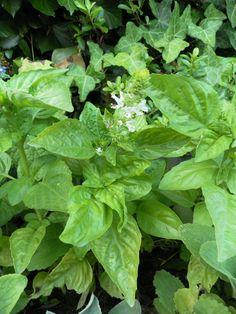 Basilic, Ocimum basilicum LAMIACEES, Juillet 2013, digestif, antispasmodique, désinfectante Spinach, Plant Leaves, Herbs, 2013, Vegetables, World, Plants, Gardens, Wild Flowers
