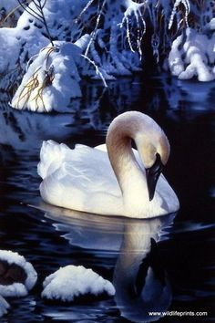 """The majestic swan rests in the snowy waters in Jerry Gadamus' Winter Reflections. Image Size 12"""" x 8"""" Open Edition"""