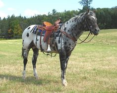 Appaloosa stallion RR Lonesome Heartman
