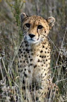 Young cheetah cub in long grass of Namibia, Africa.