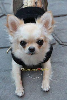 chihuahuas de paseo Cute Chihuahua, Chihuahua Puppies, Dogs And Puppies, Chihuahuas, Doggies, Pomeranians, I Love Dogs, Cute Dogs, Miniature Schnauzer Black