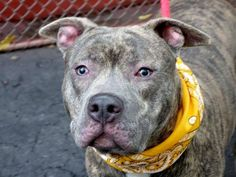 TO BE DESTROYED-10/11/1 Manhattan Center-P~BLUE~ID #A0979916.Male bl brindle & wht pit bull mix.1 YR 1 MTH old. OWNER SUR 9/23/13. Well cared for.He lived in harmony with young children & dogs with whom he played. GREAT BEHAVIOR SCORES! Walks nicely on leash, housetrained. Good meeting with helper dog. Blue would do best in a home with a lot of exercise. DO YOU NEED A RUNNING/HIKING PARTNER? This handsome young man, lively, friendly, playful and loving, waiting to be all yours!