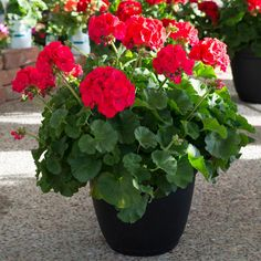 With dozens of varieties to choose from, geraniums and their pelargonium cousins are colorful, classic summer flowers.