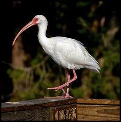 White Ibis | Flickr - Photo Sharing!  www.SHYsArt.com