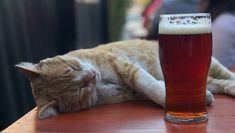 The short answer is cats absolutely cannot safely drink alcohol. The American Society for the Prevention of Cruelty to Animals (ASPCA) is quite blunt about it being one of the substances that you should never let a cat have. Cosmic Egg, Cute Cat Wallpaper, Cat Facts, All About Cats, Alcoholic Drinks, American, Animals, Animales, Animaux