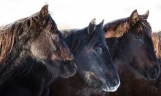 Its place in Australian folklore is assured, but calls to drastically reduce the number of wild brumbies in the Australian high country are getting louder Free Horses, Wild Horses, Brumby Horse, Victoria Australia, Wild And Free, Spirit Animal, Mustangs, Country, Spanish
