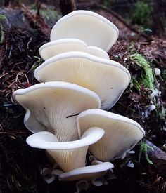 Angel's Wings, Pleurocybella porrigens (Marasmiaceae) -- Ironically, its common name now has two meanings.  In 2004 it was classified as poisonous after 17 people died after eating this mushroom.  Originally the name referred to its smooth and white caps resembling wings.