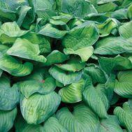 Hosta 'Guacamole' (Hosta) - Fine Gardening Plant Guide