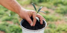 Πολλαπλασιασμός της ελιάς με φυλλοφόρα μοσχεύματα | Τα Μυστικά του Κήπου Projects To Try, Tips, Plants, Gardening, Decor, Decoration, Lawn And Garden, Plant, Decorating