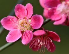 Prunus mume 'Beni-chidori' - Japanese Apricot. Always on the look out for small trees for the garden.