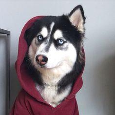Pin by Katrin on Husky Wolf Husky, Siberian Husky Dog, Haski Dog, Cute Puppies, Cute Dogs, Dog Emoji, Cute Husky, Baby Dogs, Cute Funny Animals