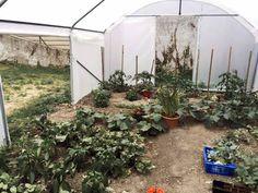 Intérieur d'une serre Richelieu : on voit ici des tomates, du basilic, des melons.