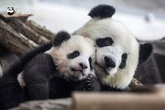 Panda brothers Pit and Paule took their first steps outside Wednesday with their mother Meng Meng at Zoo Berlin. The twins -- the first pandas ever to be born in Germany -- are on view to the public for the first time on Thursday. Twin Babies, Cute Babies, Twins, Adorable Puppies, Baby Panda Bears, Baby Pandas, Panda Babies, Red Pandas, Baby Animals