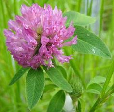 Mountain Home Quilts: Using Herbs - Red Clover Fritters