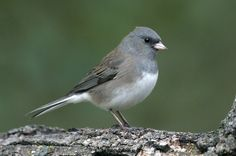 "Dark-Eyed Junco: There are more than a dozen recognized ""races"" of the dark-eyed junco, from the most basic slate-gray with a white breast to those with a swoosh of pink along the flanks, plus lots of variations in between. birdsandblooms.com"