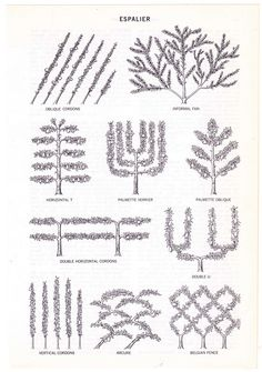 Black-and-white illustration of various types and shapes of espalier. This is an actual page cut out from a vintage Encyclopedia Americana published in 1972, a reference volume that had been damaged, discarded, and separated from its original set. Espalier is the ancient gardening practice of training plants, especially fruit trees, by pruning and tying the branches to a frame so that they grow flat against a wall or other support. Beautiful, graceful patterns can be created that allow…