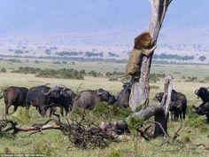 A terrified lion clings to a tree as a herd of angry buffalo wait below. The stunning pict...