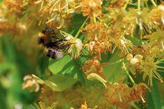 Škodia cudzokrajné druhy líp čmeliakom? - Záhrada.sk Insects, Lips, Plants, Animals, Animais, Animales, Animaux, Animal, Plant