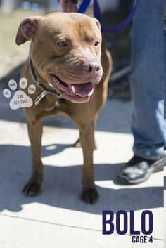 URGENT! BOLO (friendly fella)...CANTON, OHIO..Release date 3/29.  Bolo looks rather grumpy in his pictures, but he's been a friendly boy so far!  He is quite strong, and a younger dog.  Bolo looks as if someone cared for him, but no one has come to claim him yet.  Help this young guy find a new...