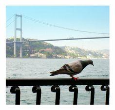 İstanbul, Türkiye, güvercin, kuş, Boğaz