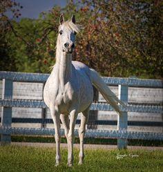 Ansata Nile Starlight :: Silver Maple Farm
