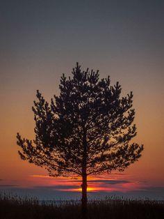 Standalone - Lonely tree in Harriniemi, Kokkola.